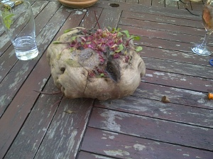 A northern beetroot