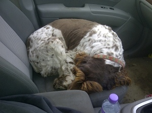The lovely Max, the proper dog, taking a nap in the car