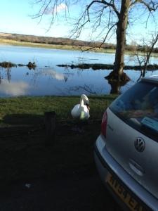 swan in Arundel