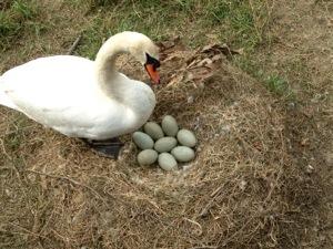 swan's nest with eggs