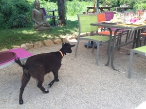 goat waiter
