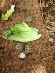 tortoises just hatched