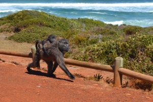 That baboon with baby attached